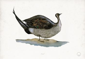 Pintail - artist signed print